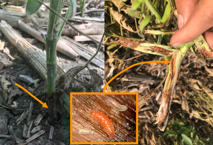 Damage and stages of soybean gall midge