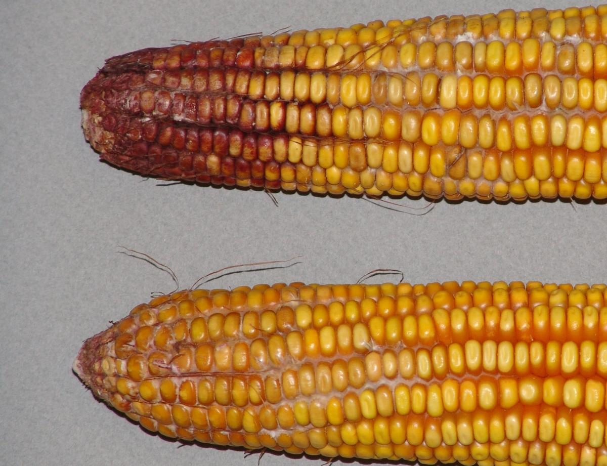 Gibberella ear rot in corn