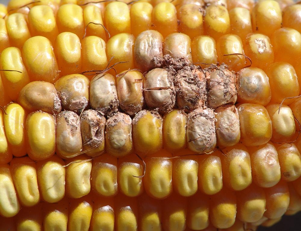 Fusarium ear rot in corn