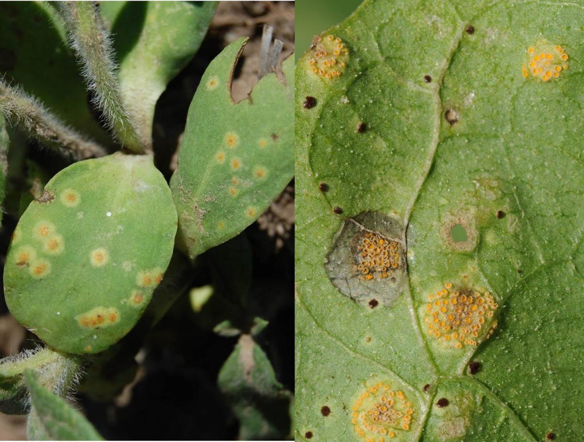 Sunflower rust