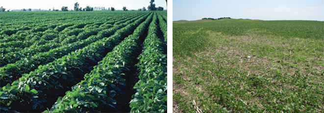 Soybean fields showing two levels of soybean cyst nematode infestation