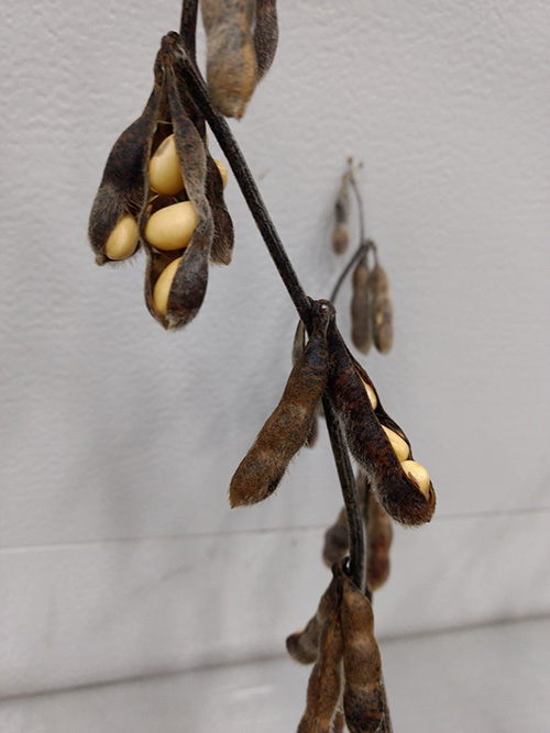 Soybean pods popping open