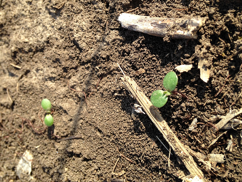 Common ragweed in no-till