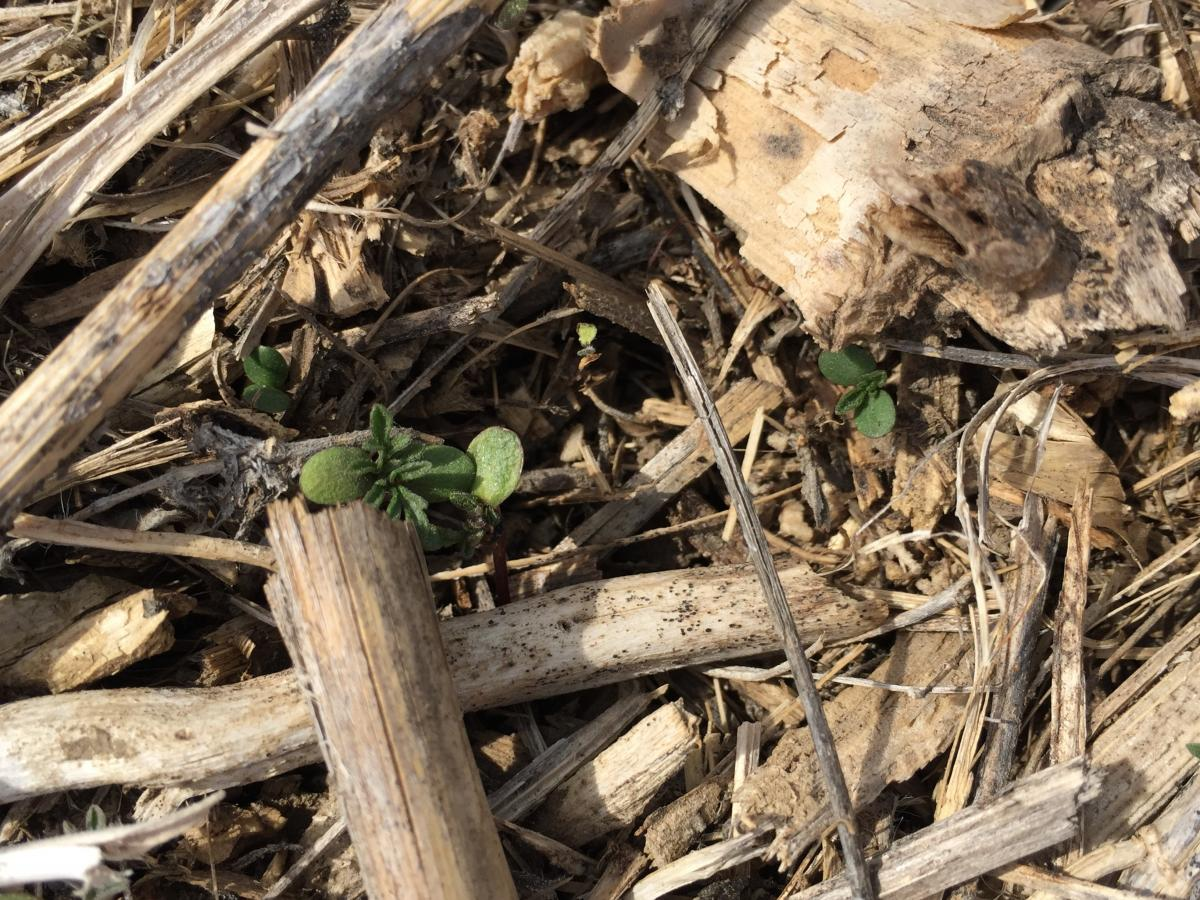 Early emergence of common ragweed
