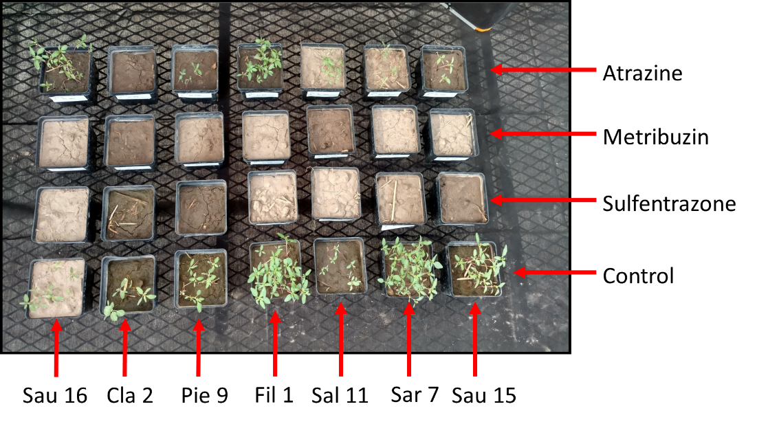 Photos of sample pots showing degrees of waterhemp responses to 3 herbicides and control