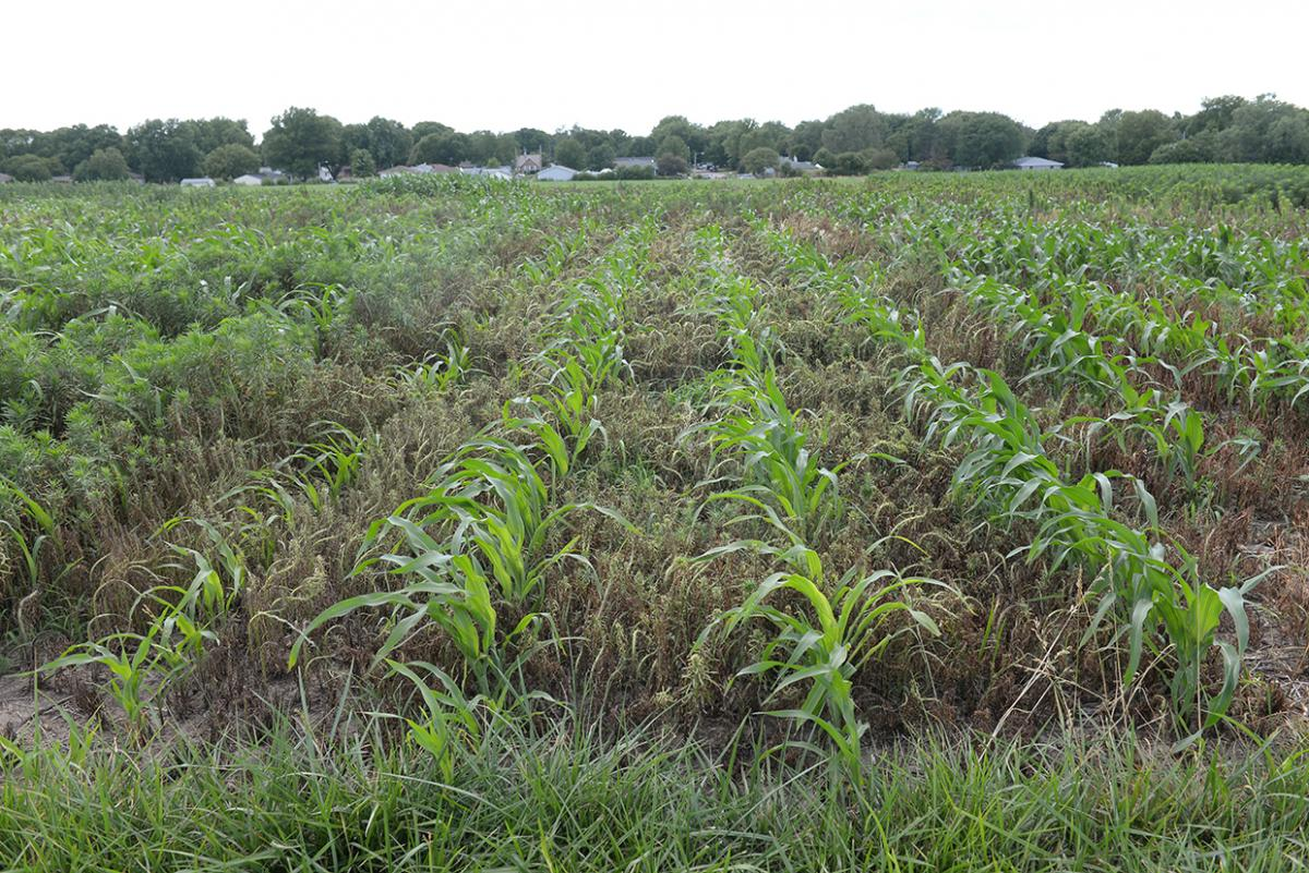 Marestail competing with corn