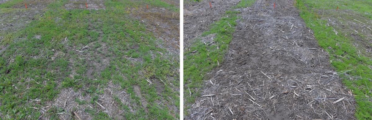 Two plots in a study of control of glyphosate-resistant ragweed