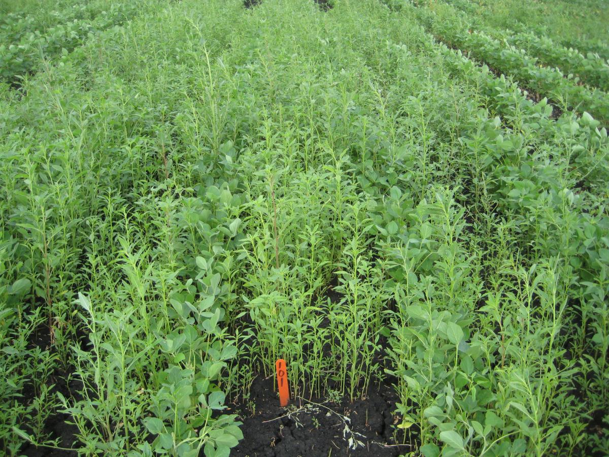 Soybean field without preemergence herbicide treatment