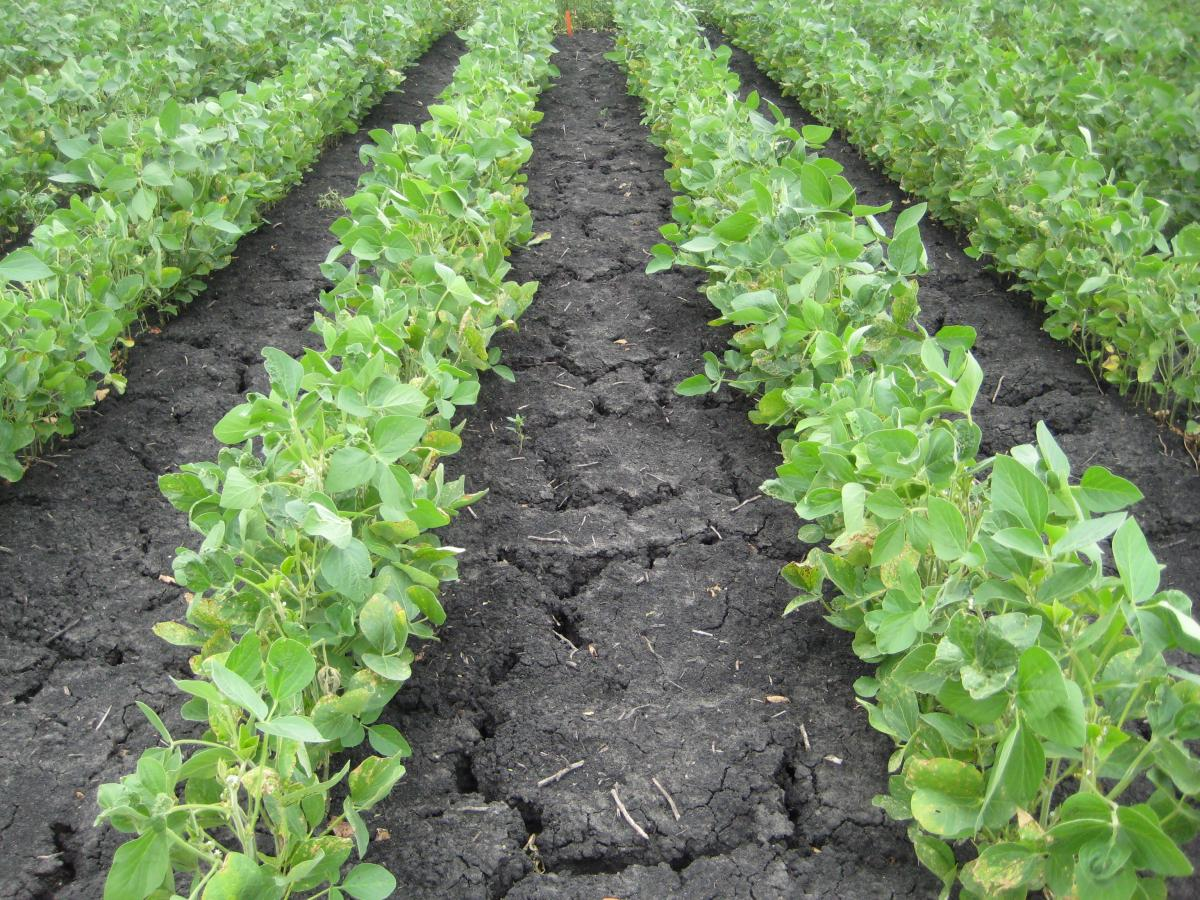 Soybean field with preemergence herbicide treatment