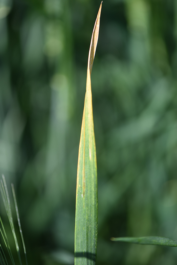 Barley yellow dwarf of wheat