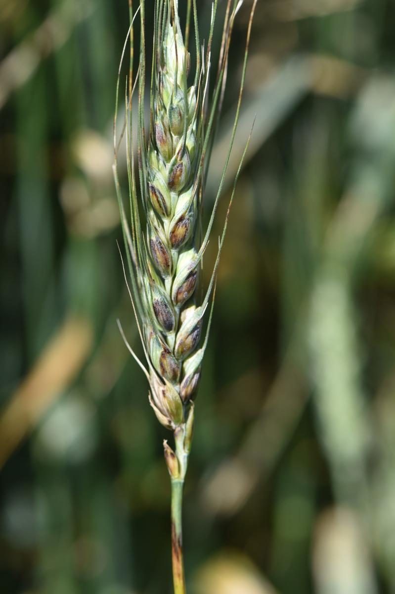 Wheat with black chaff