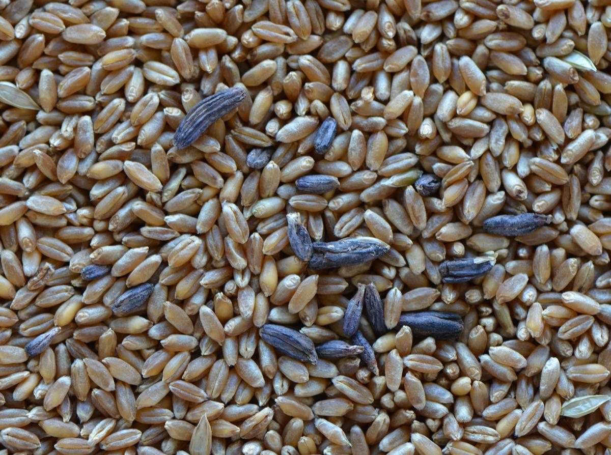 Ergot in wheat