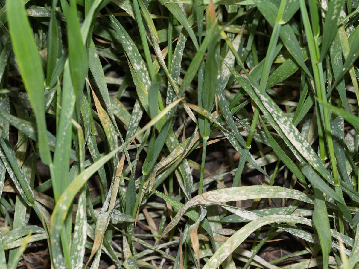Wheat with powdery mildew