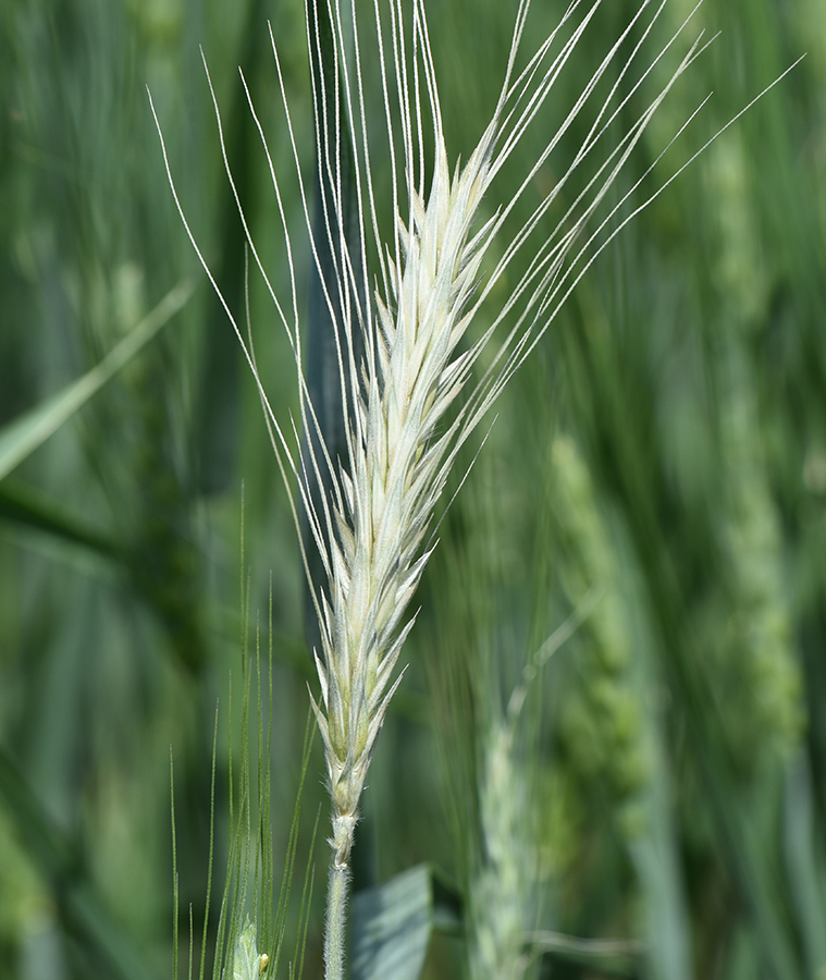White head of wheat