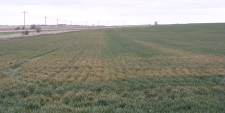 Fertilizer damage in stressed winter wheat