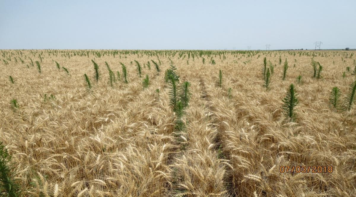 Weeds taller than mature wheat