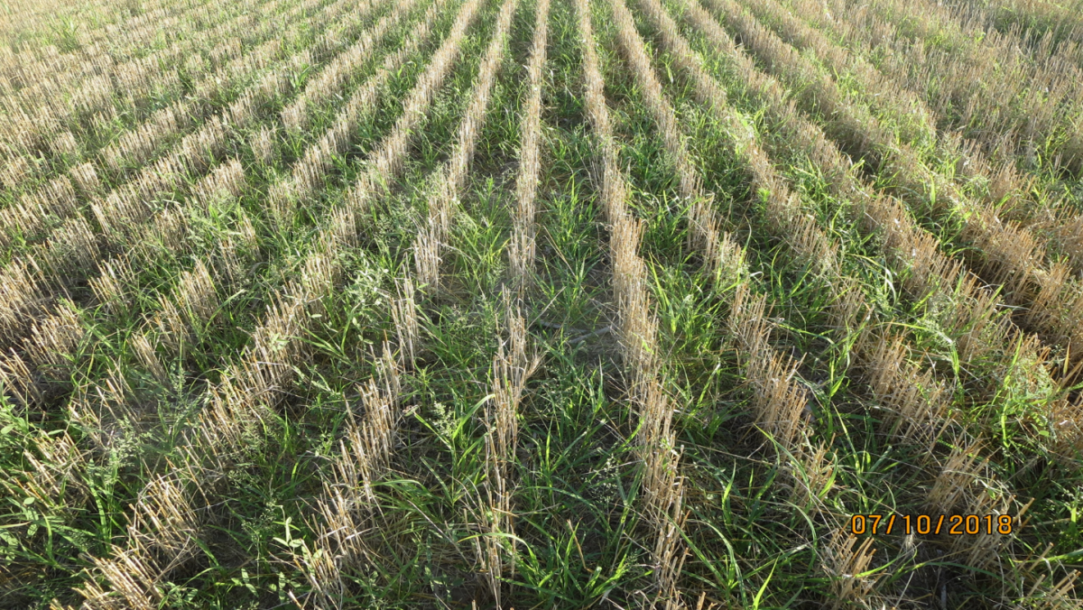 Heavy weeds in a field of recently harvested wheat