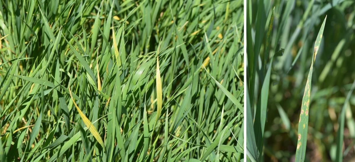 Barley yellow dwarf and tan spot of wheat