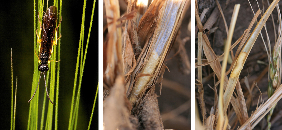 Composite of photos of wheat stem sawfly in wheat