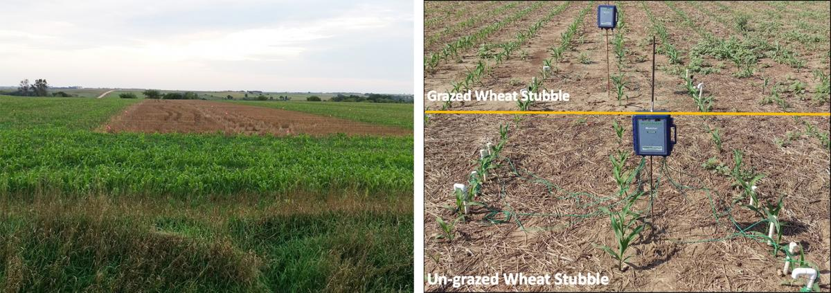Trial of grazed and ungrazed cover crop after wheat