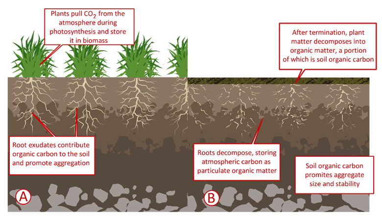 Diagram of how plants sequester carbon