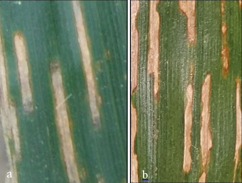 Comparing lesions of bacterial leaf stripe and gray leaf spot