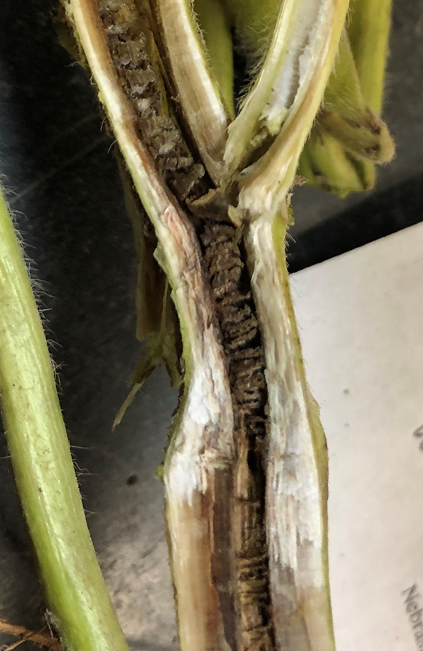 Soybean stem showing discoloration caused by brown stem rot