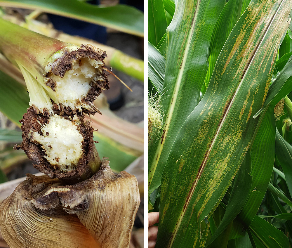 Physoderma brown spot on corn