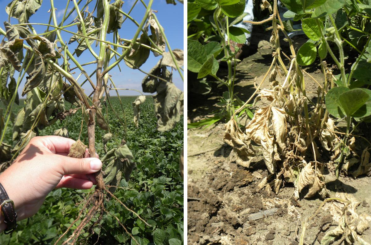 Phytophthora in soybean