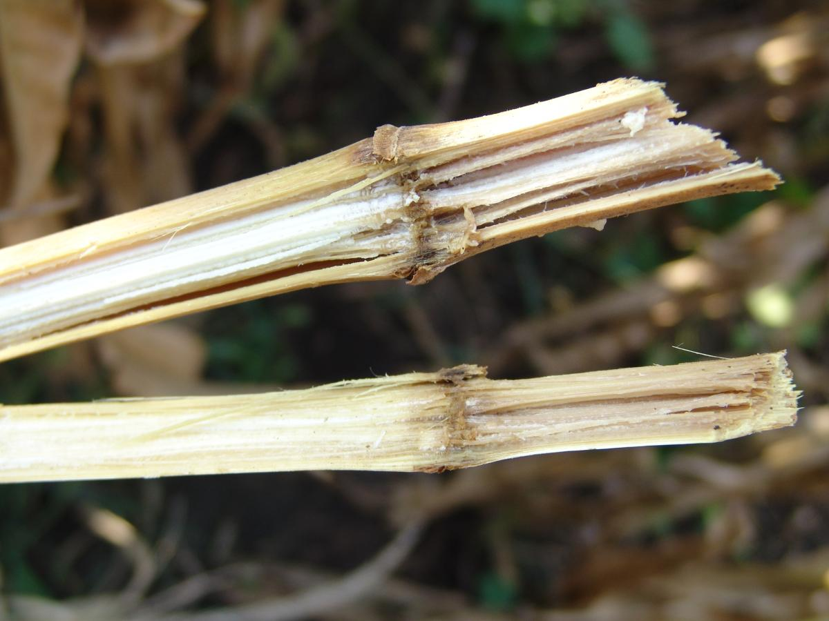 Stalk rot in corn