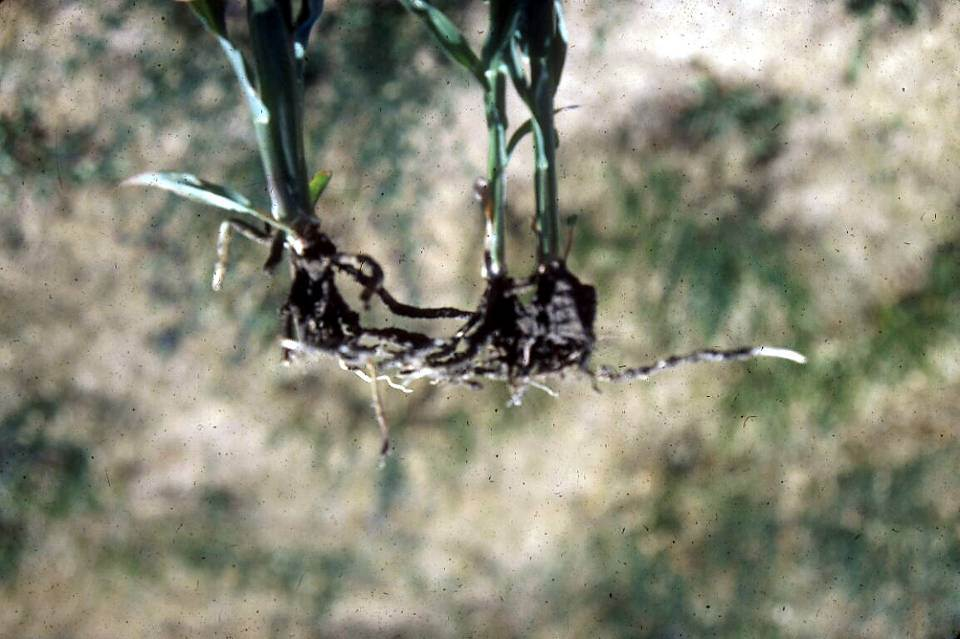 Shallow planting can cause roots to horizontally