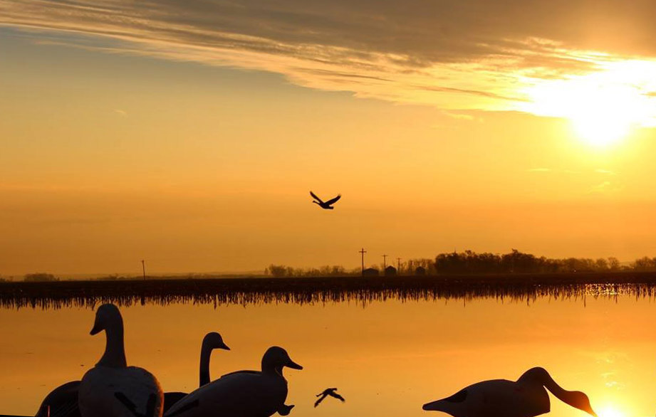 Silhouette of geese on a lake