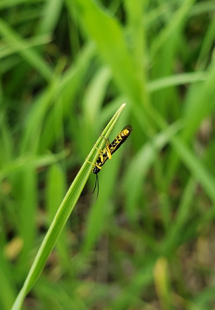 Wheat stem sawfly adult