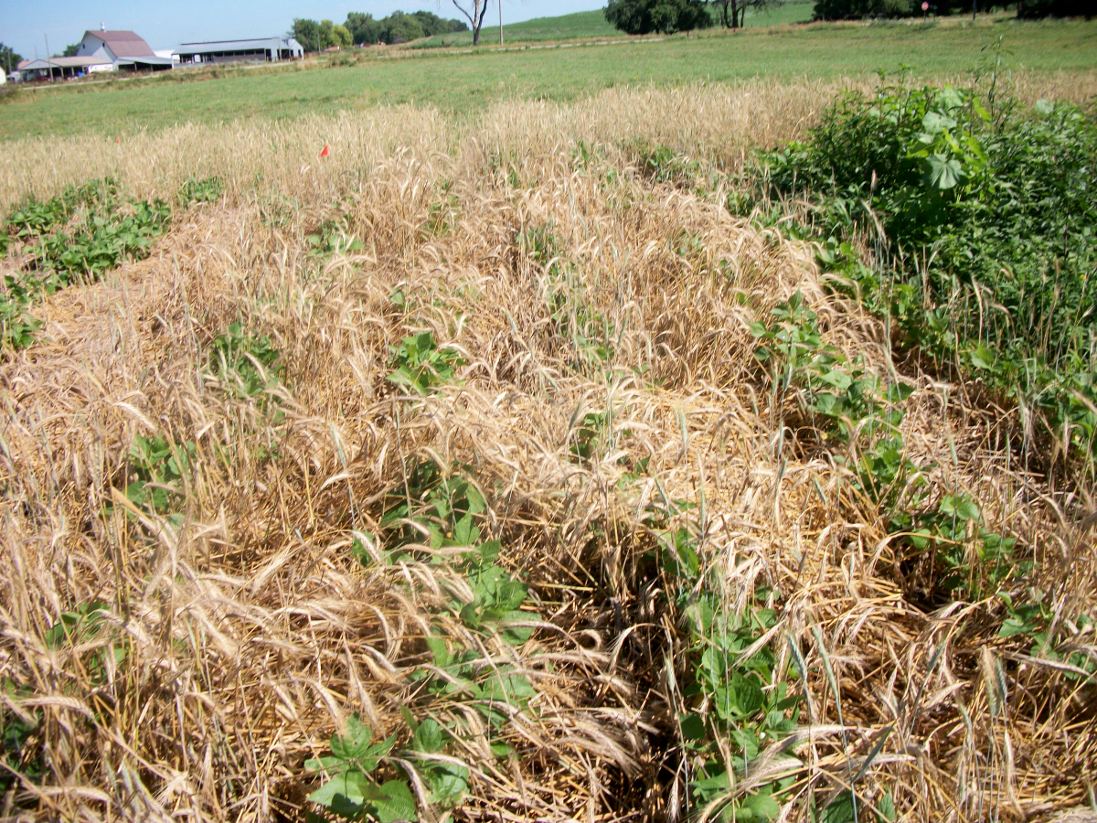 Triticale was pushed up by bean growth when planting green beans before crimping