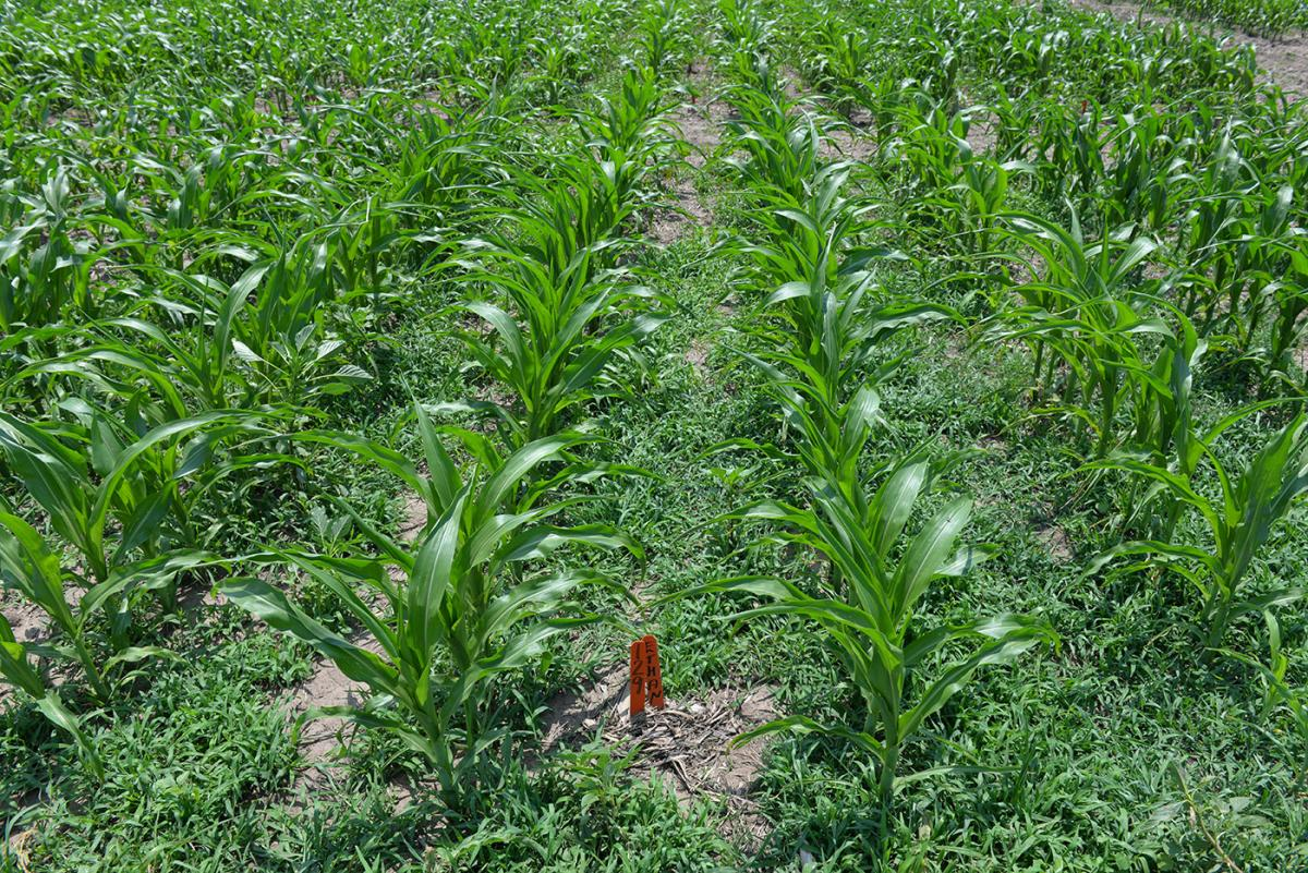 Photo of field trial evaluating Verdict weed control in popcorn