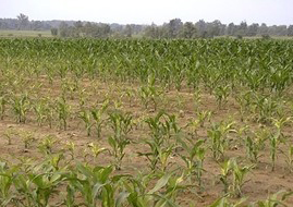 Poor stand of corn that would benefit from animal manure fertilization