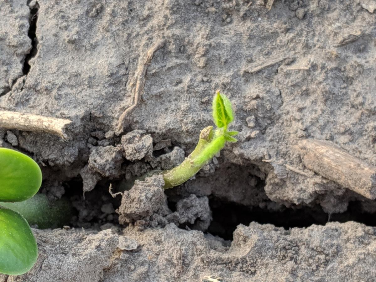 Figure 3: New growth occurring from where the cotyledon originally occurred on this plant. It's unclear at this point if the main stem tip was lost or if new growth will be observed from it in the future.