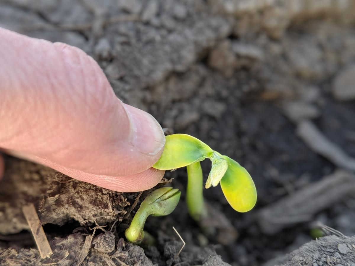Figure 4: Seedlings below crust. For this photo, I removed the crust and opened the cotyledons to expose the first leaves. If the cotyledons are stripped when emerging through the crust and the growing point has moved above the cotyledons (epicotyl), then there's an opportunity for the seeding to survive in spite of losing the cotyledons.