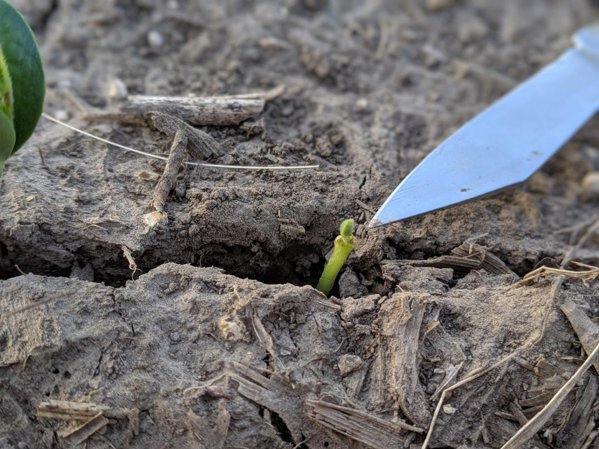 Figure 5: Plumule emerging from the epicotyl on a seedling that had cotyledons stripped from crusting during emergence.