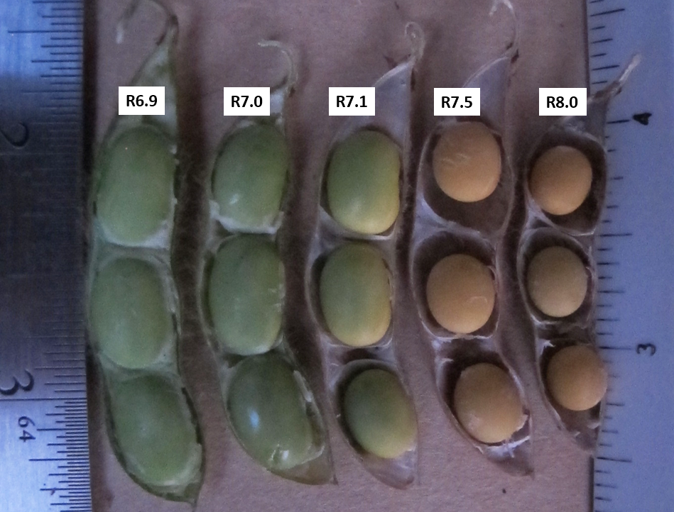 Comparison of how soybean seeds within the pod detach from the membrane as they mature.