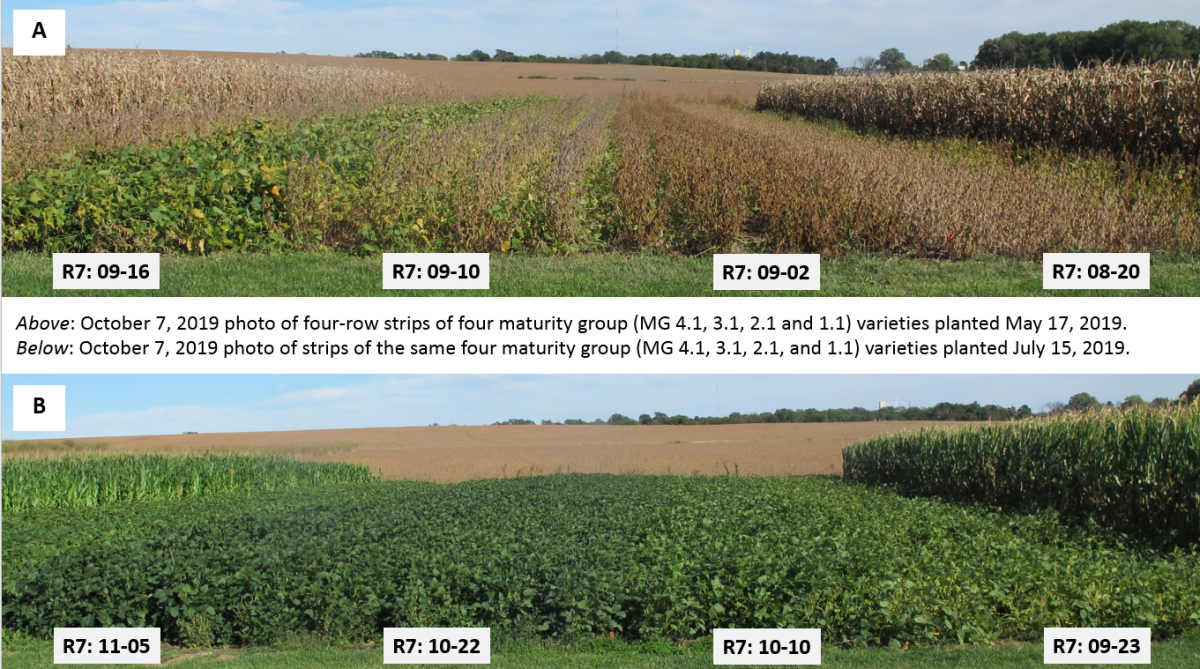 Comparison of planting dates and maturities in the field