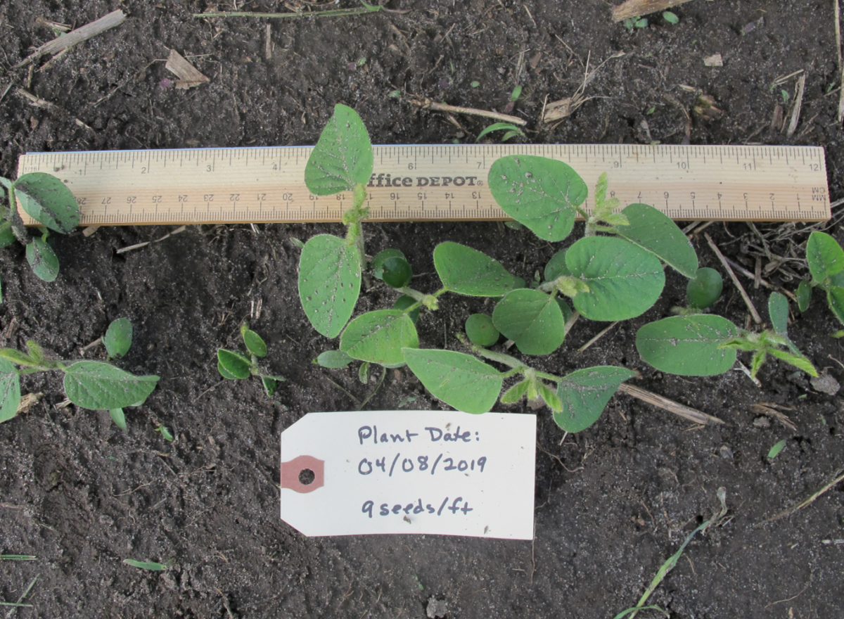 Soybeans planted April 8, 2019, nine seeds per foot; photo taken May 13