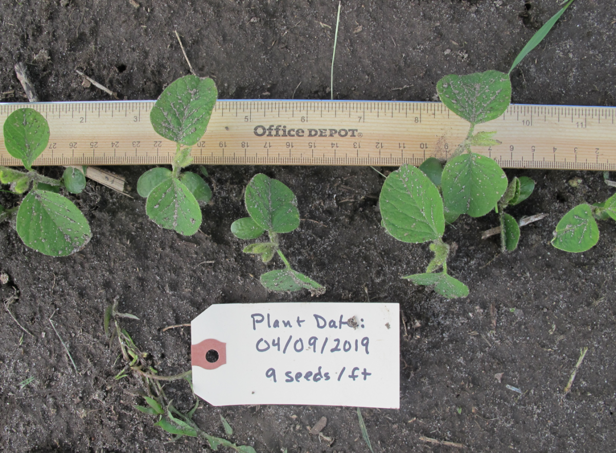 Soybean planted 4/9, 2019; photo taken May 13