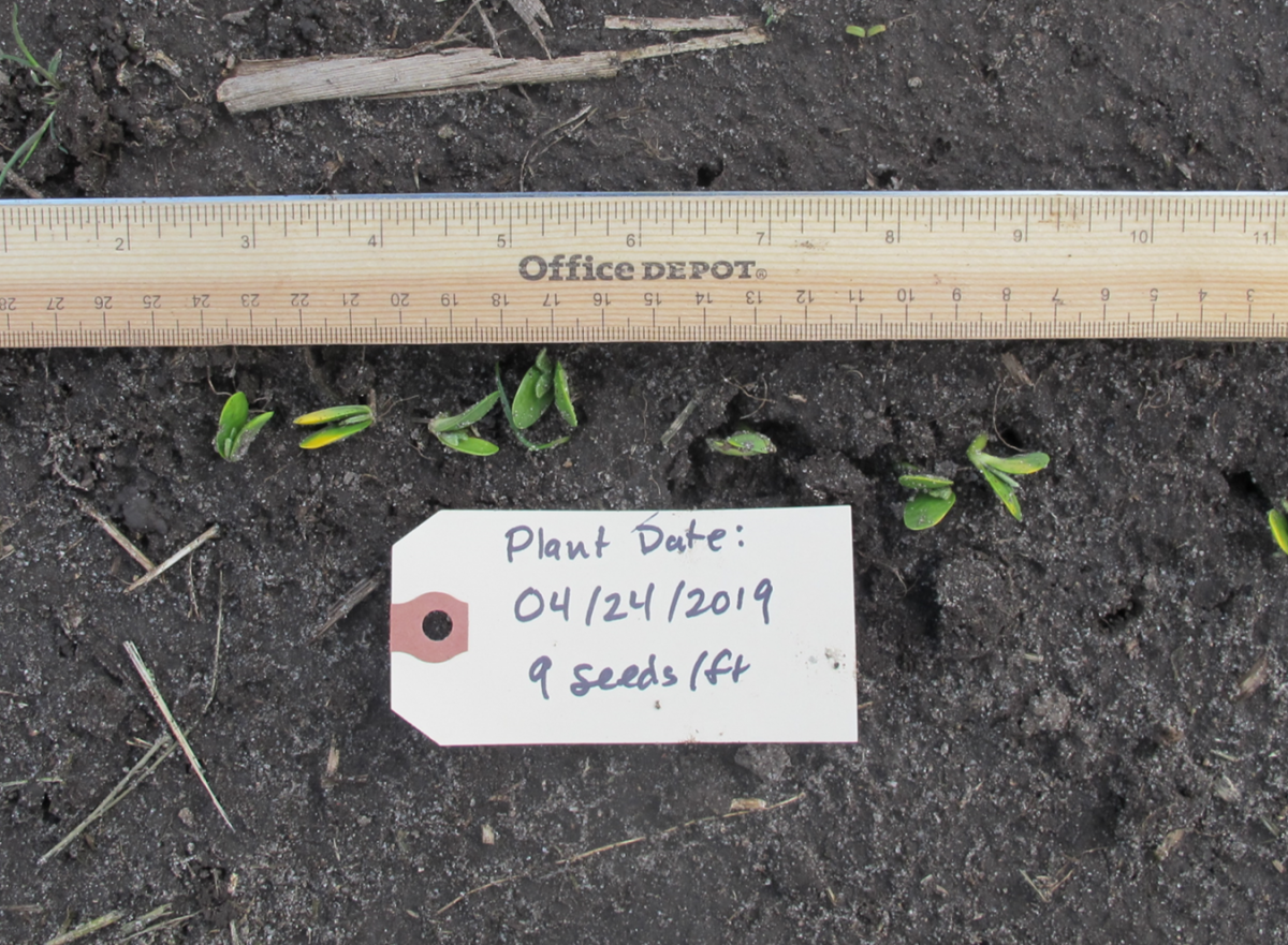 Soybean planted 4/24; Photo taken 5/13