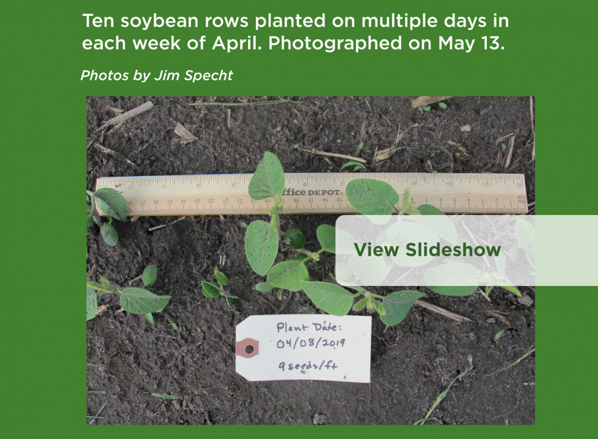 Ten Soybean Plant Rows Planted on Multiple Days in Each Week of April. Photographed on May 13. Photos by Jim Specht