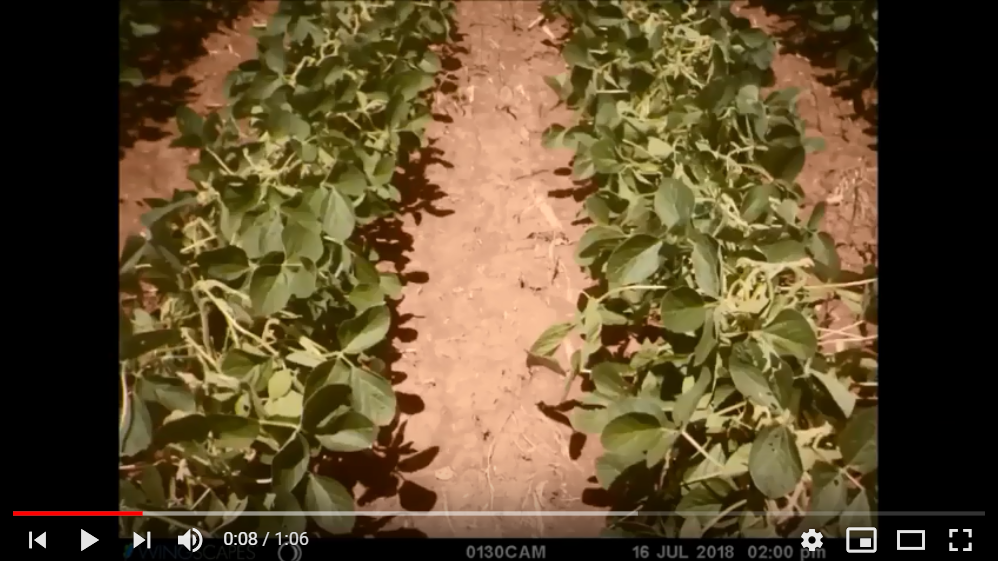 Photo from a time lapse showing injury from applying 1/10 of the labeled rate of XtendiMAX on R1 Roundup Ready soybean