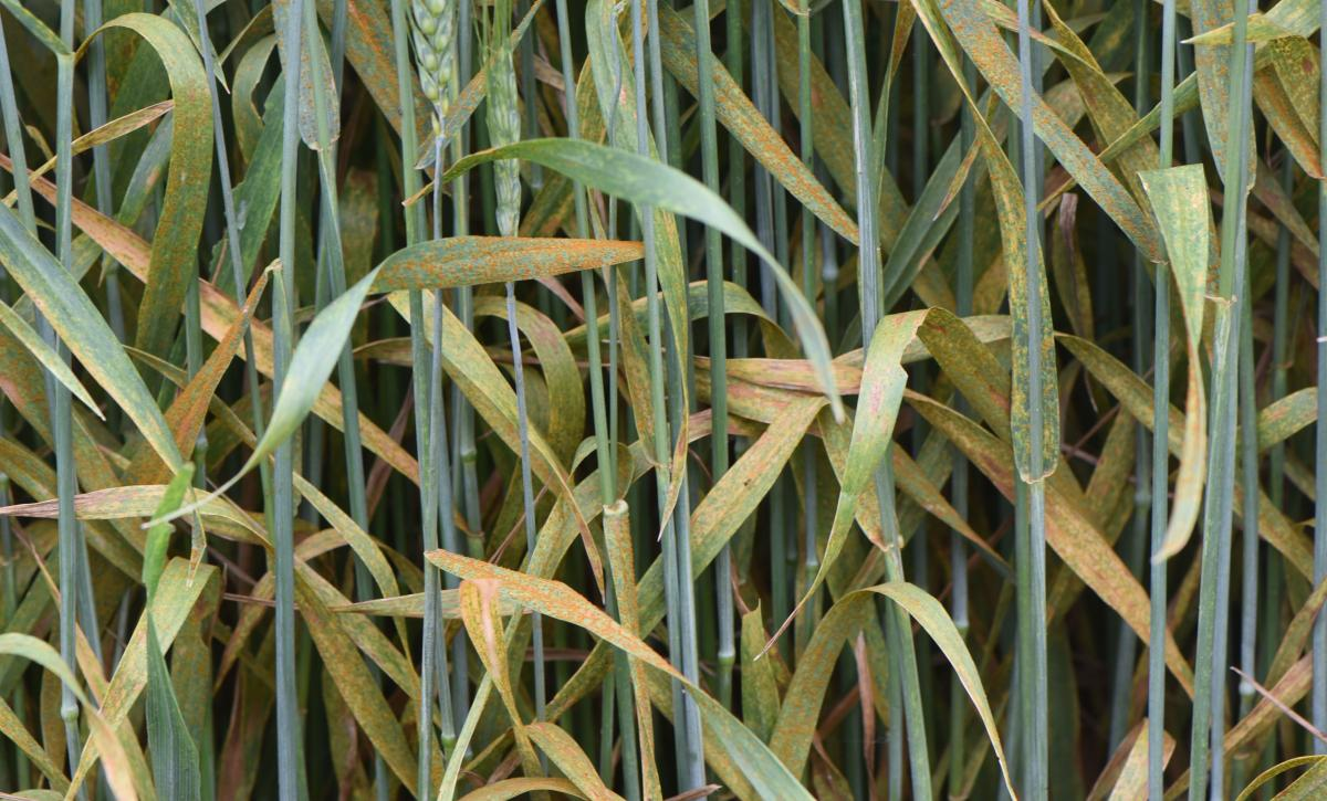 Severe leaf rust in wheat