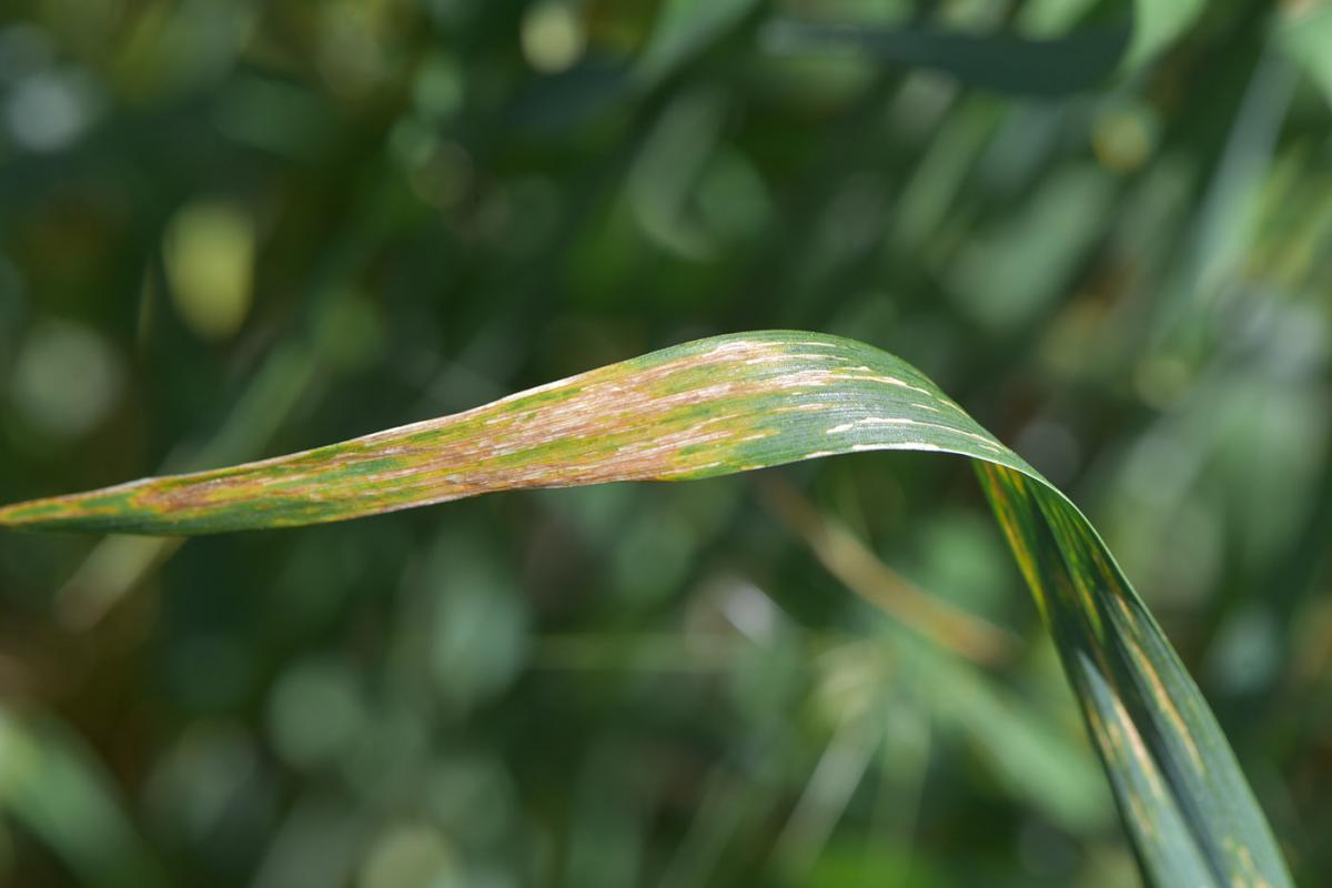 Bacterial streak on a wheat leaf