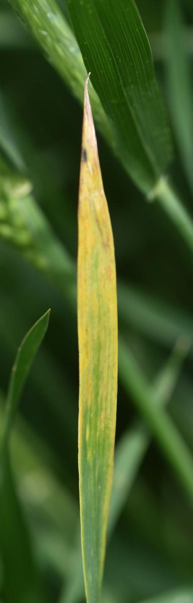 Wheat leaf with Barley yellow dwarf