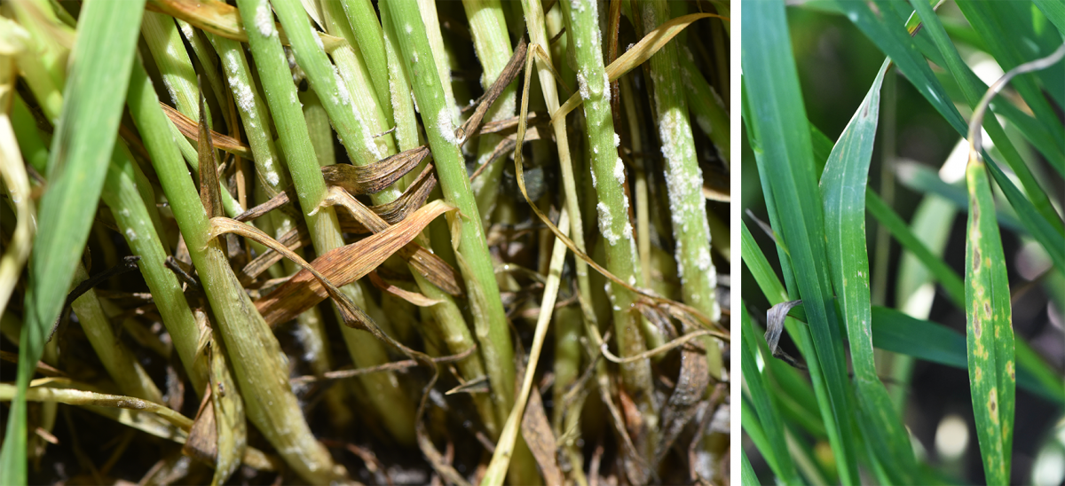 Two photos of wheat diseases: powdery mildew and fungal leaf spots on wheat leaves.